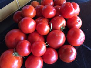 Still harvesting beautiful tomatoes in late October -- amazing!
